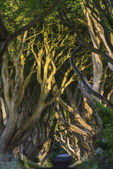 The Dark Hedges, Northern Ireland — Stock Photo