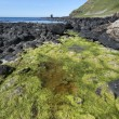 Green seaweed on North Irish coastline — Stock Photo
