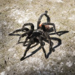 Black spider on the ground  — Stock Photo