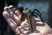 Close up of black spider sitting on a hand — Stock Photo