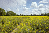 Ecological field of yellow rape in Poland — Stock Photo