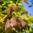 Red maple leafs on tree during autumn time — Stock Photo