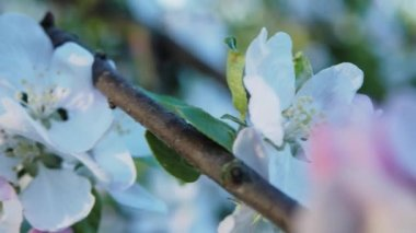 Blossoming apple tree on bokeh background — Stock Video