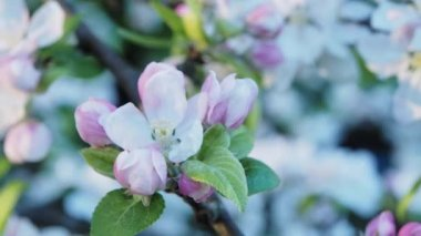 Apple tree brunch with white flowers on bokeh background — Stock Video