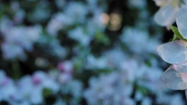 Apple blossoms during spring time with defocus background — Stock Video