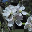 Bee on a flower blooming in spring apple tree — Stock Video #45784821