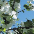 Bee on a flower blooming in spring apple tree — Stock Video #45784861