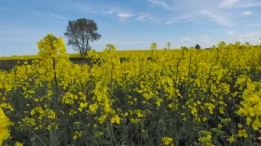 A yellow rape field in a north of Poland — Stock Video