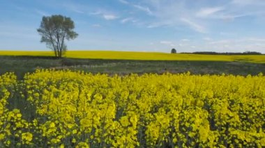 Yellow oilseed rape field under the blue sky with sun — Stock video