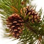 Pine cone — Stock Photo #19641059