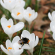 Stock Photo: Crocuses and bee