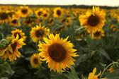 Pole slunečnic — Stock fotografie