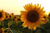 Sunflower one — Stock fotografie