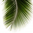 Stock Photo: Green leaf of coconut palm tree