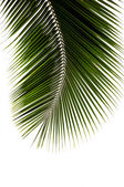 Green leaf of coconut palm tree — Stock Photo