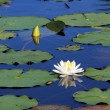Summer lake with water-lily flowers on blue water  — Stockfoto