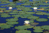 Summer lake with water-lily flowers on blue water — Stock Photo
