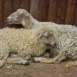 A pair of sheep — Stock Photo