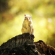 Chipmunk on the stump — Stock Photo