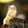 Chipmunk - Stock Photo
