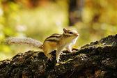 在森林里的树桩上花栗鼠 — 图库照片