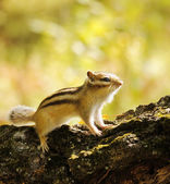 Chipmunk on a tree in the woods — Stock Photo