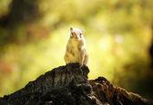 Chipmunk on the stump — Stock Photo