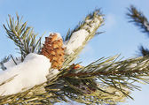 Cedar cones on a snow covered branches — Stockfoto