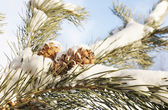 Cedar cones on a snow covered branches — ストック写真