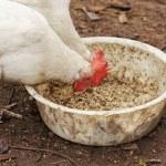 Domestic chickens peck grains — Stock Photo #18550881