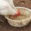Domestic chickens peck grains — Stock Photo