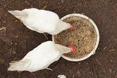 Domestic chickens peck grains — Stockfoto