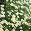 Stock Photo: Chamomile flowers on a glade