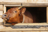 Cow looks out from the window of a cowshed — Stock Photo