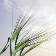 Stock Photo: Wheat ears against sunset sky
