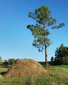 High pine tree and haystack in the forest — Stock Photo