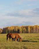 Häst med föl går och betar på en höst äng — Stockfoto