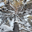 Snowy high pine tree into a winter forest — Stock Photo