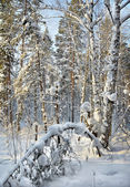 Landscape in the winter cold forest — Photo