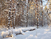 Landscape in the winter cold forest — Foto Stock