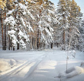 Ski trail in the winter pine forest — Stock Photo