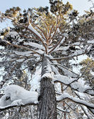 Snowy high pine tree into a winter forest — Stockfoto