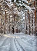 Skidspår i vinter tallskog — Stockfoto