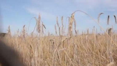 Moving through rye field — Stock Video
