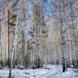 Snowy road in a winter birch woods — Photo