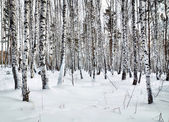 Beautiful glade in a winter birch wood — Stock Photo