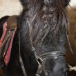 Black Shetland pony with harness — Stock Photo #40888847