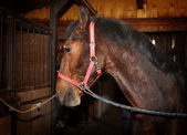 Bay horse with harness standing in the stall — Stock Photo