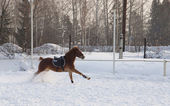 Bay steed runs on a snowy field — Stock Photo