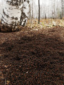 Anthill in forest — Stock Photo